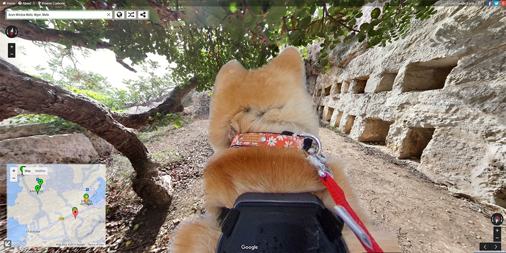 malta dog view akita